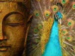 Photos Of The Buddha Pictures Peacock